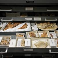 Raymond Alf Museum fossils on tray in cabinet on high density mobile system
