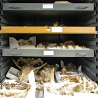 Raymond Alf Museum cabinets with various shelves of fossils