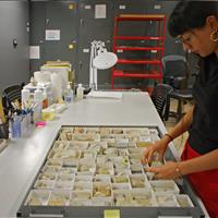 Paleontologist examining small boxes of fossils at Raymond Alf Museum