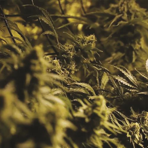 Close up of cannabis on vertical grow system
