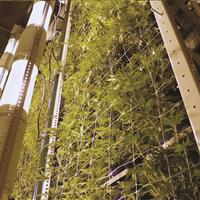 Cannabis vertically growing on heavy-duty racking system