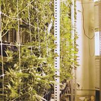 Vertical Grow of Cannabis on heavy-duty racking compact system