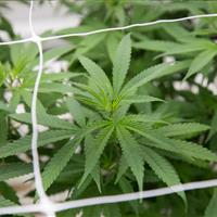 Trellises and netting help keep cannabis plants from sprawling into the aisles to prevent damages.jpg