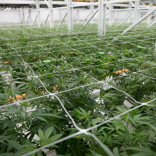Cannabis trellises help keep the plants from sprawling into the aisles.jpg