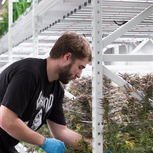 Easy access to cannabis.jpg