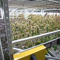 Cannabis indoor farming.jpg