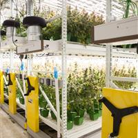 This facility grows taller strains on the bottom rows and smaller strains on the upper level.jpg